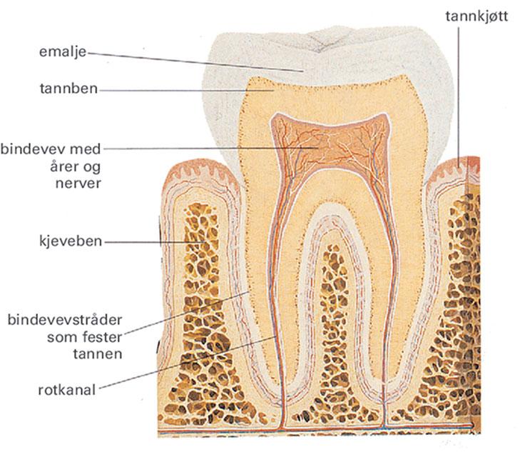Bilde som viser innsiden av en tann